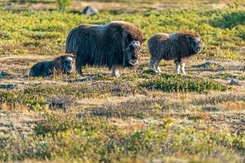 Musk ox (Ovibos moschatus), with young animals standing in the tundra in Dovrefjell National Park, Norway