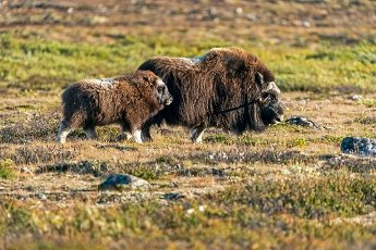 Musk ox (Ovibos moschatus), with young animal standing in the tundra in Dovrefjell National Park, Norway