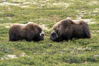 Two musk oxen (Ovibos moschatus), standing in the tundra in Dovrefjell National Park, Norway