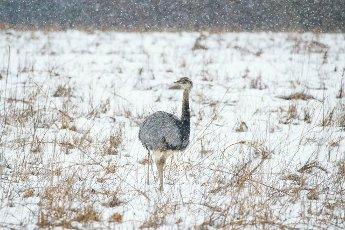 Nandu (Rhea americana), in the snow, Mecklenburg-Vorpommern, Germany