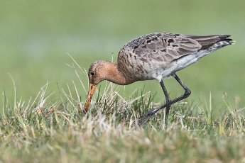 Black-tailed godwit (Limosa limosa), running in wet meadow, Lower Saxony, Germany