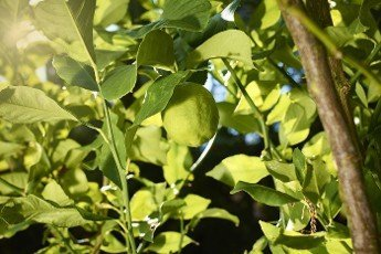 A lemon ripens and grows on the branch of a lemon tree in the sun outdoors,  next to branches and leaves