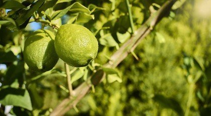 Lemons growing and ripening on the branch of a lemon tree,  with leaves and branches in the background,  in green and yellow tones