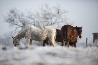 Beatiful horses in winter on fresh snow