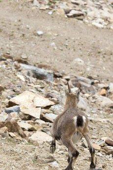 A steinbock running away in italian mountain