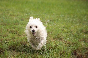 Happy running West Highland Terrier dog runs through a tropical garden in Florida.