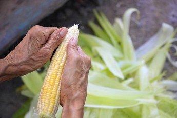 Close-up hands were peeling corn.