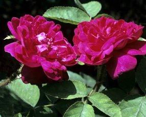 Moosrose,  Mme. de la Roche Lambert,  Alte Rose,