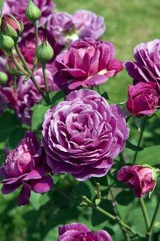 Old Port; Teehybrid-Rose,