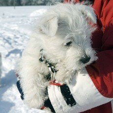 West,  Highland,  White,  Terrier