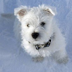 West,  Highland,  White,  Terrier,