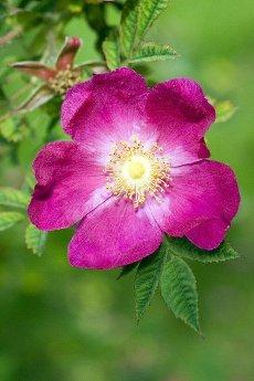 Wildrose; Rosa gymnocarpa,  1893;  Alte Rose;