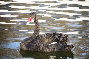 Black swan floats in the autumn pond