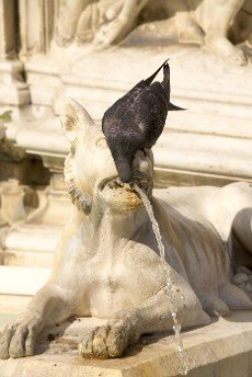 Dove drinking water from a decorative fountain in Siena. Italy