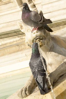 Pigeons drink water from a decorative fountain in Siena. Italy