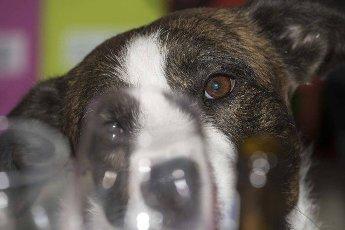 cute black and white dog looks at you,  dog gaze