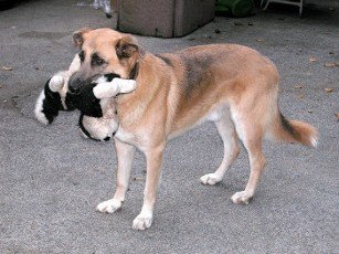 a playing dog with a stuffed animal in its mouth