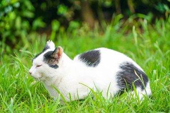 Tortoiseshell cat nestled in prairie. Shooting Location: Tokyo metropolitan area