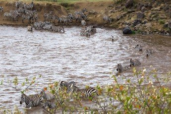 Mara River in Kenya. Zebras from Masai mara to Serengeti,  Africa