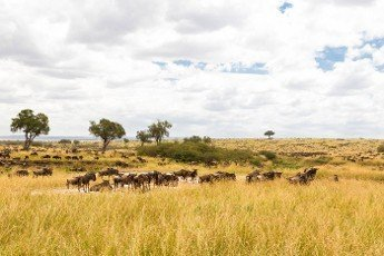 Herd of wildebeest on the shore of the pond. Kenya,  Africa