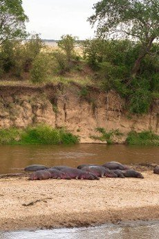 A large herd of hippos on the bank of the Mara River. Kenya,  Africa