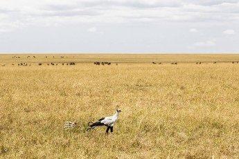 Secretary Bird in search of prey. Kenya,  Africa