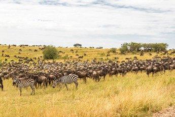 Very big herds of ungulates on the Serengeti plains. Kenya,  Africa