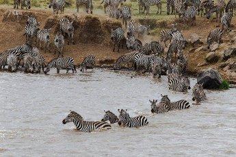 Zebras swim across the mara river. Masai Mara,  Kenya