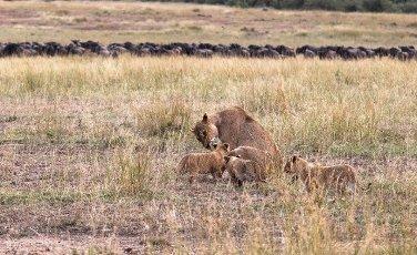 Lioness and three cub. Savanna of Masai Mara,  Kenya