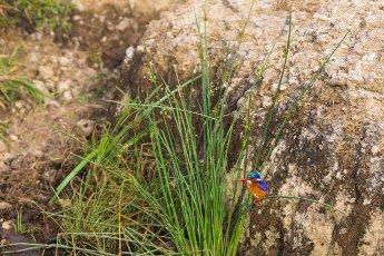 Beautiful colorful bird - kingfisher bird. Kenya,  Africa