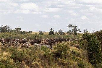 Herd of herbivores on the high bank. Masai Mara,  Kenya