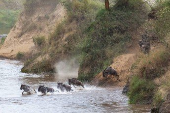 Large herd out of the water after the crossing. Great migration in Kenya,  Africa