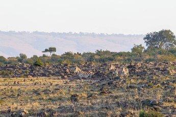 Zebras on the stony bank of the river. Masai Mara,  Kenya