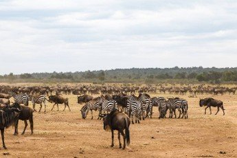Waiting for the crossing. Accumulation of ungulates on the shore. Mara river. Kenya,  Africa
