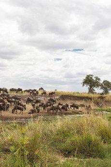 Herd of wildebeest on the shore of the pond. Kenya,  Africa