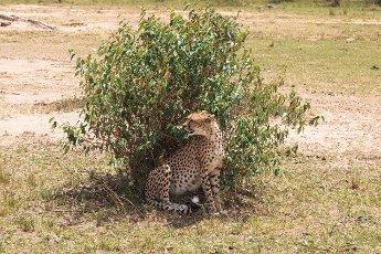A big cheetah behind a bush. Savanna of Masai Mara,  Kenya
