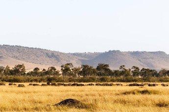 Big herd of african buffalo. Masai Mara. Kenya,  Africa
