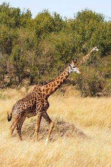 Two giraffes run through the savannah. Masai Mara,  Kenya