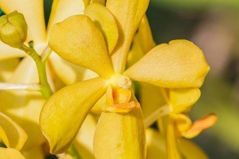 Yellow Orchid on Blurred background in the garden.