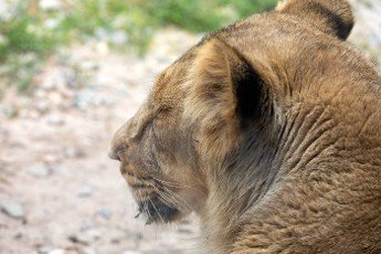 Asiatic lion (Panthera leo persica). A critically endangered species.