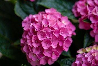 closeup of a beautiful pink hydrangea in garden