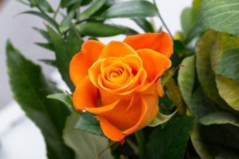 the orange-rose against the background of green leaves