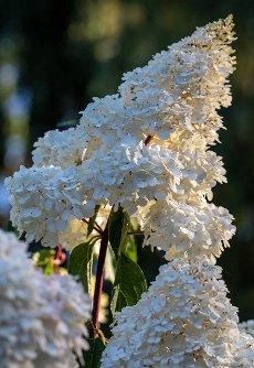 closeup  of a beautiful white hydrangea in garden