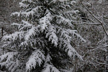 Snow-covered conifers stand in the winter landscape