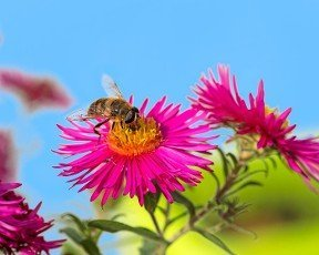Macro of a bee collecting nectar at a pink aster blossom