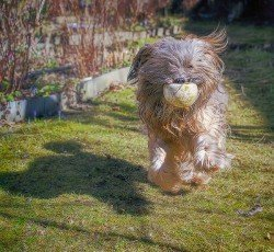 Long-haired Tibetan terrier dog running in the garden.