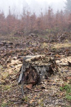tree stump inside of woods after deforestation process during winter season