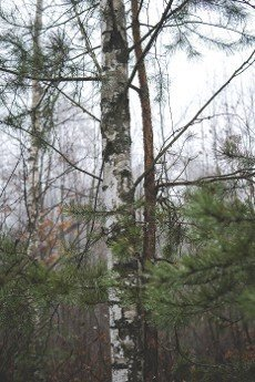 birch tree next to small pine standing together during foggy day
