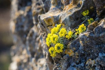 Yellow flower on a rock