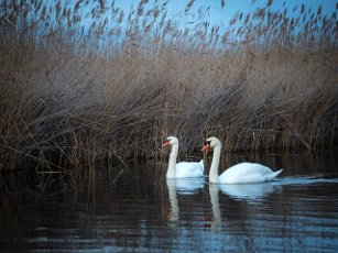 two swans on lake neusiedlersee